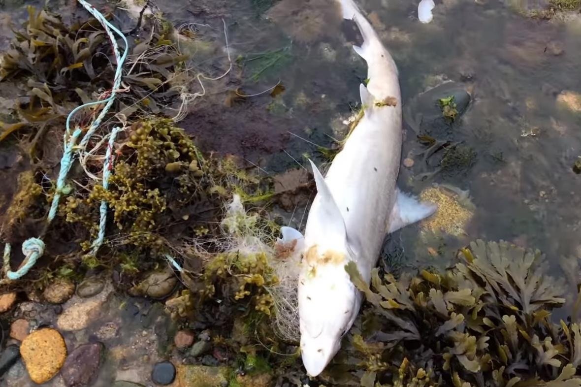 Mrtvý žralok v Pleubianu