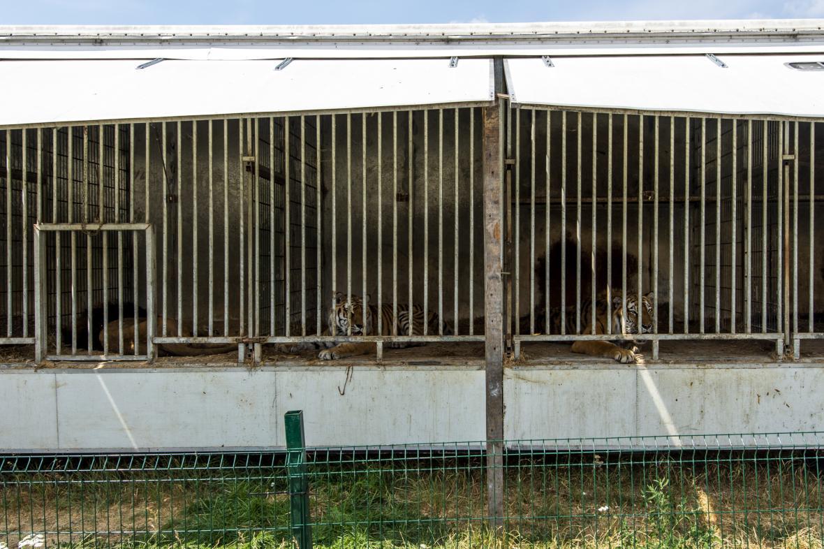 V Bioparku Štít utekli z klece dva tygři a lev
