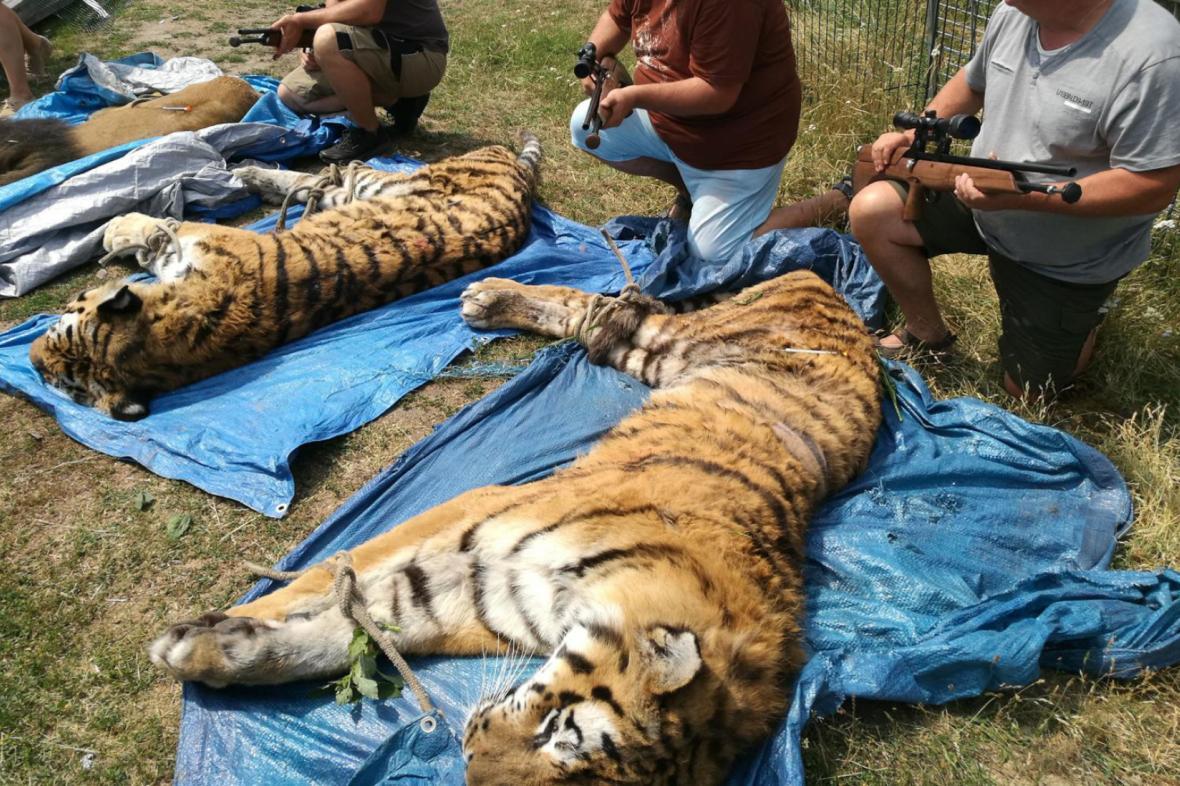 Tygři z bioparku v Klamoši