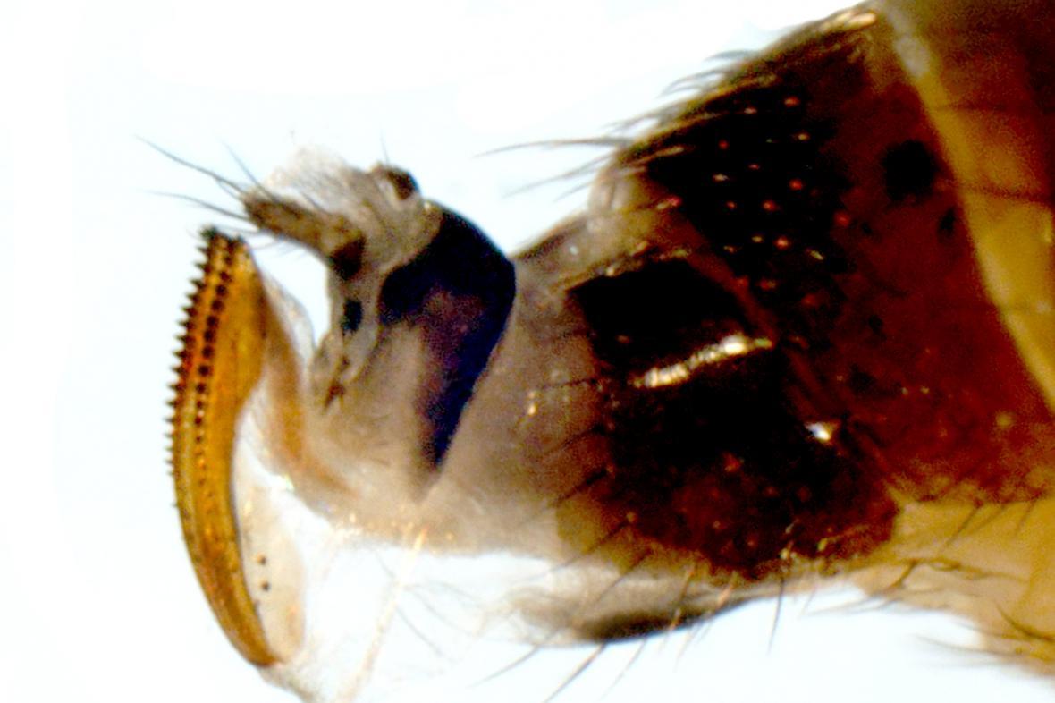 Kladélko samice octomilky japonské
