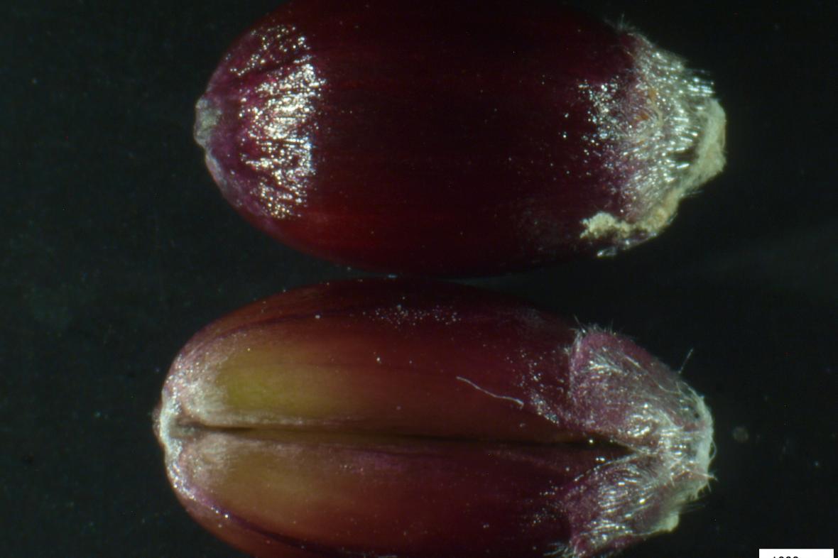 Zrající plod purpurové pšenice