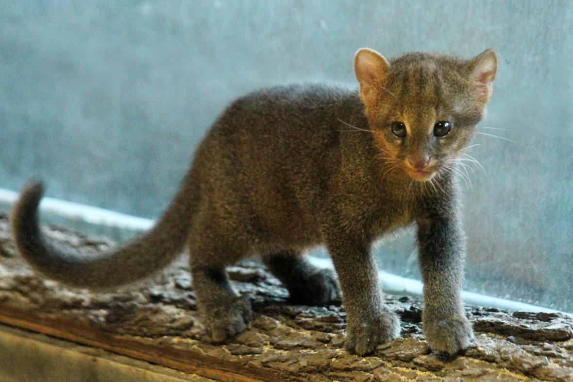 Mláďata jaguarundi se v zoo narodila už před třemi lety