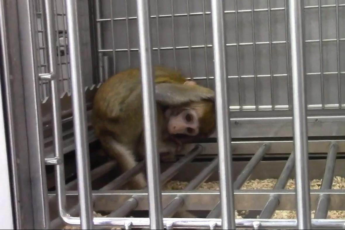 Naklonovaný makak s genetickým postižením