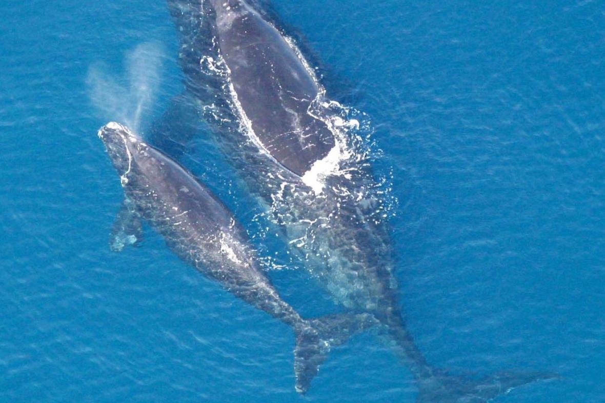 Velryba černá s mládětem
