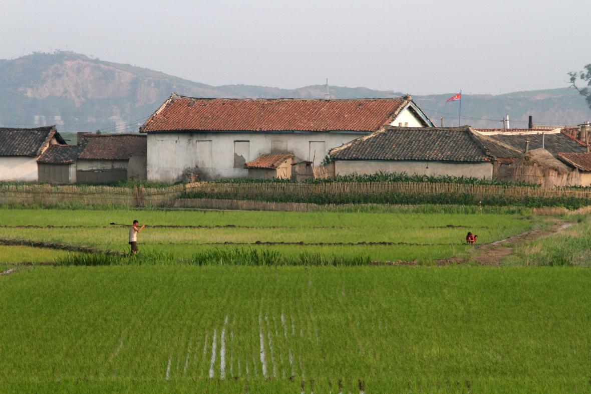 Severokorejský zemědělec na rýžovém poli