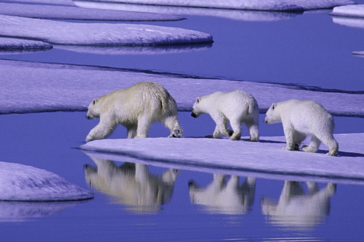 Úbytek ledu škodí i ledním medvědům