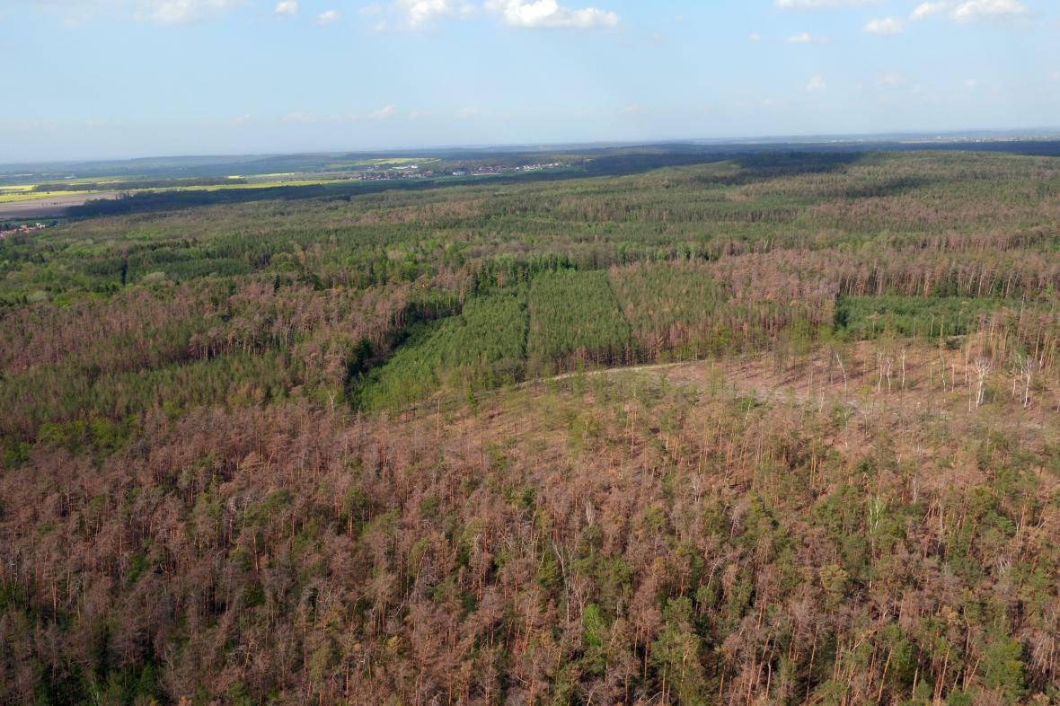 V Polabí usychají borové lesy (snímek z 25. dubna 2019)