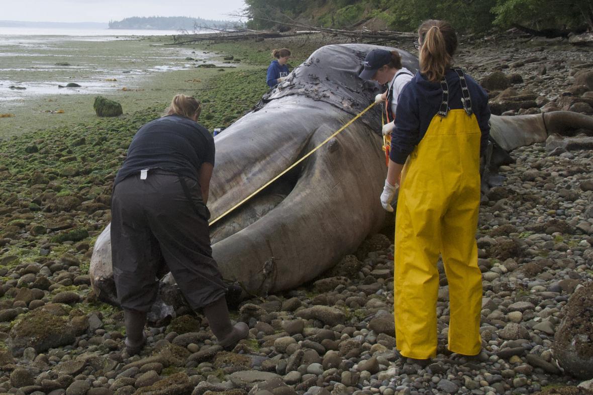 Mrtvá velryba vyplavená v USA