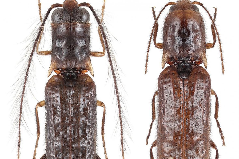 Sinopyrophorus Schimmeli