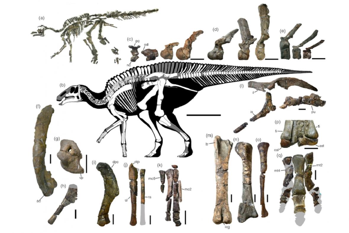 Nově objevený dinosaurus