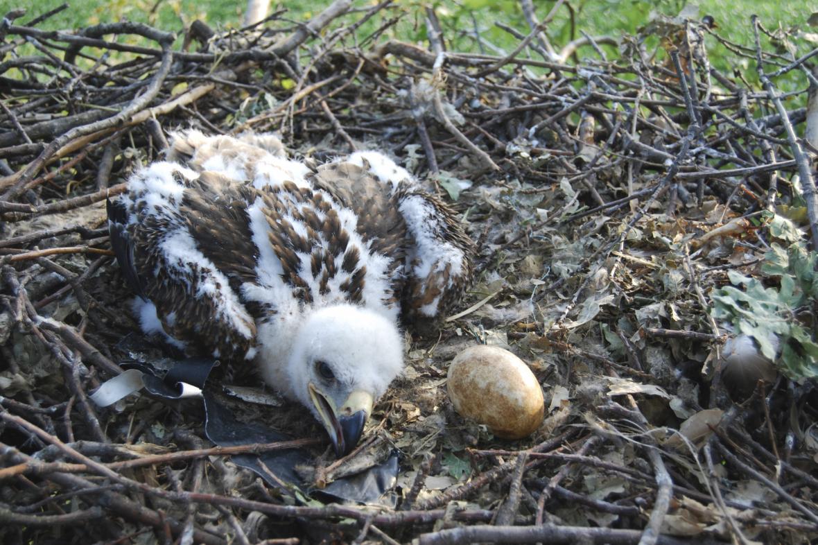 Mládě orla královského v hnízdě na Znojemsku