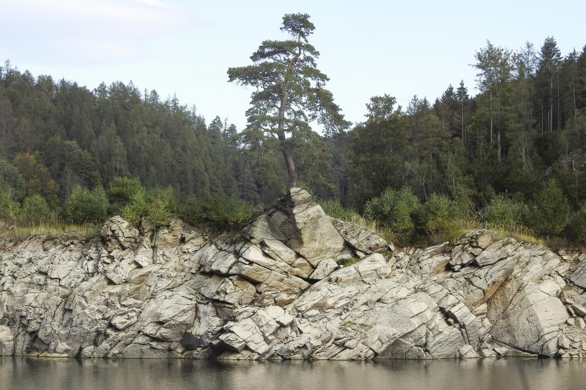 Chudobínská borovice u Vírské přehrady