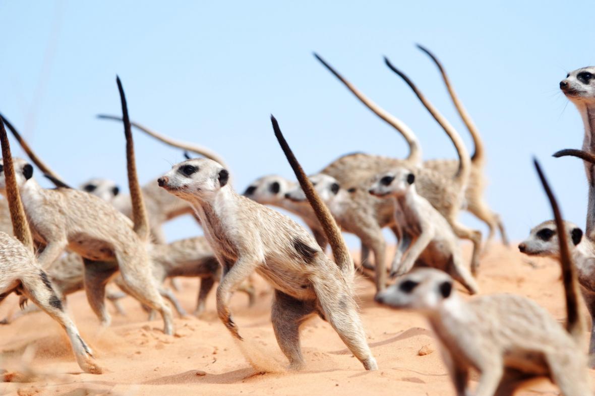 Válečný tanec surikat