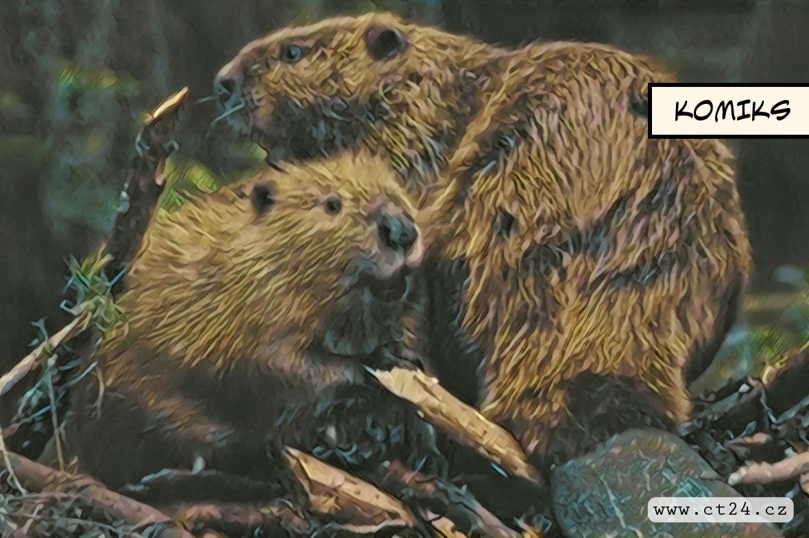 Přemnožení bobři působí velké škody. Správci rybníků se bojí o stav hrází
