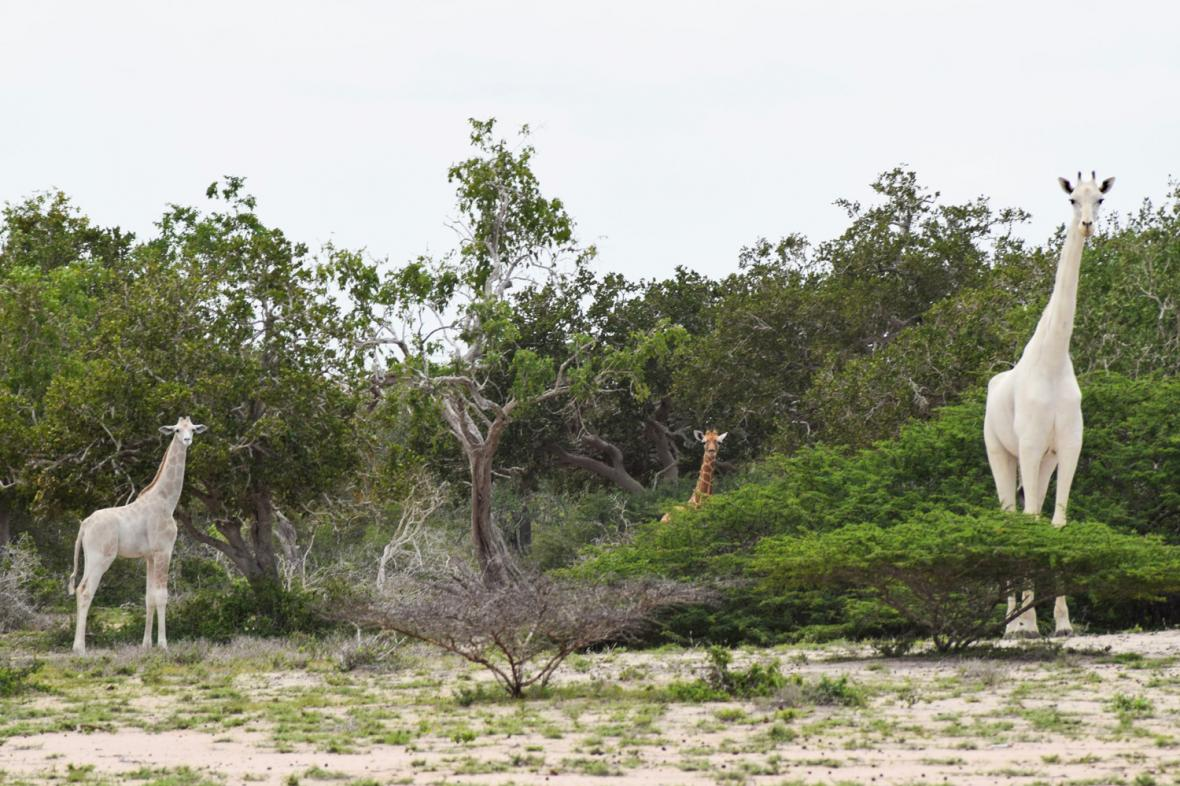 Bílé žirafy