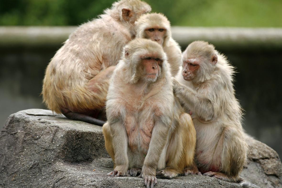 Opice makak rhesus