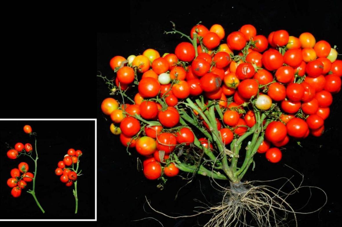Geneticky upravená rajčata