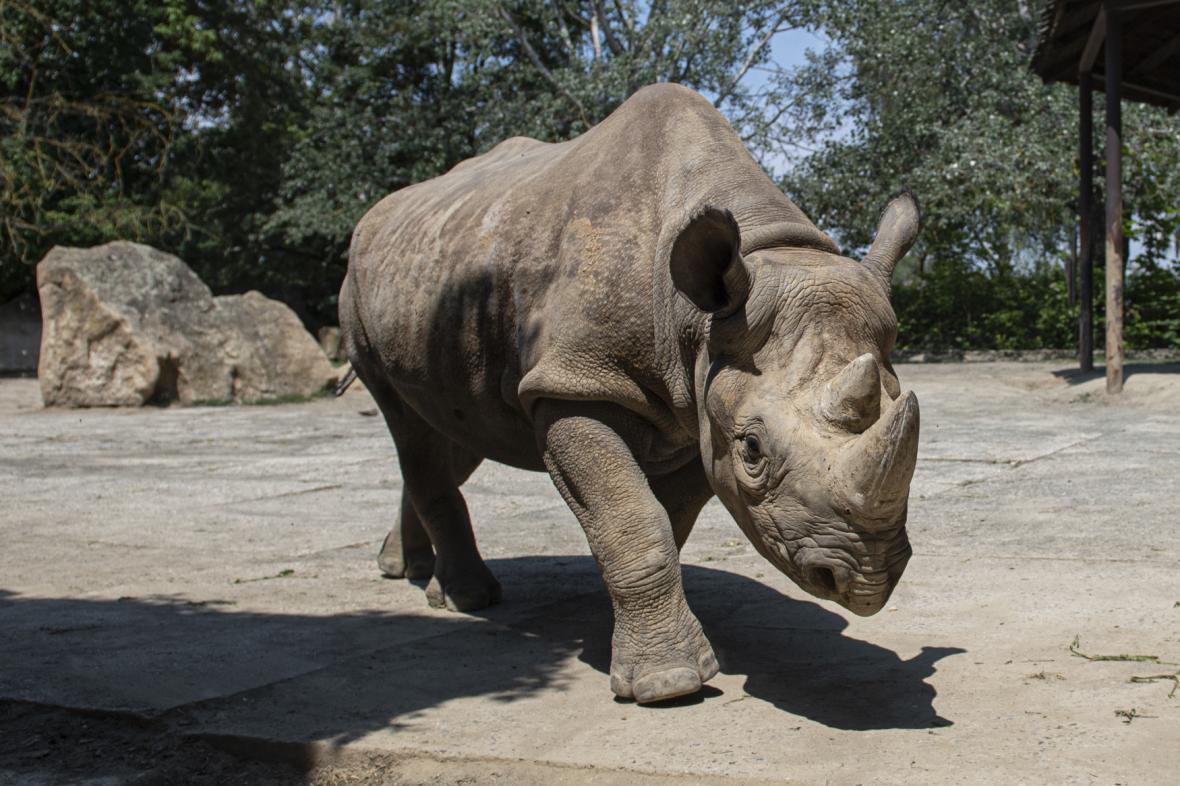 Nosorožec severní černý