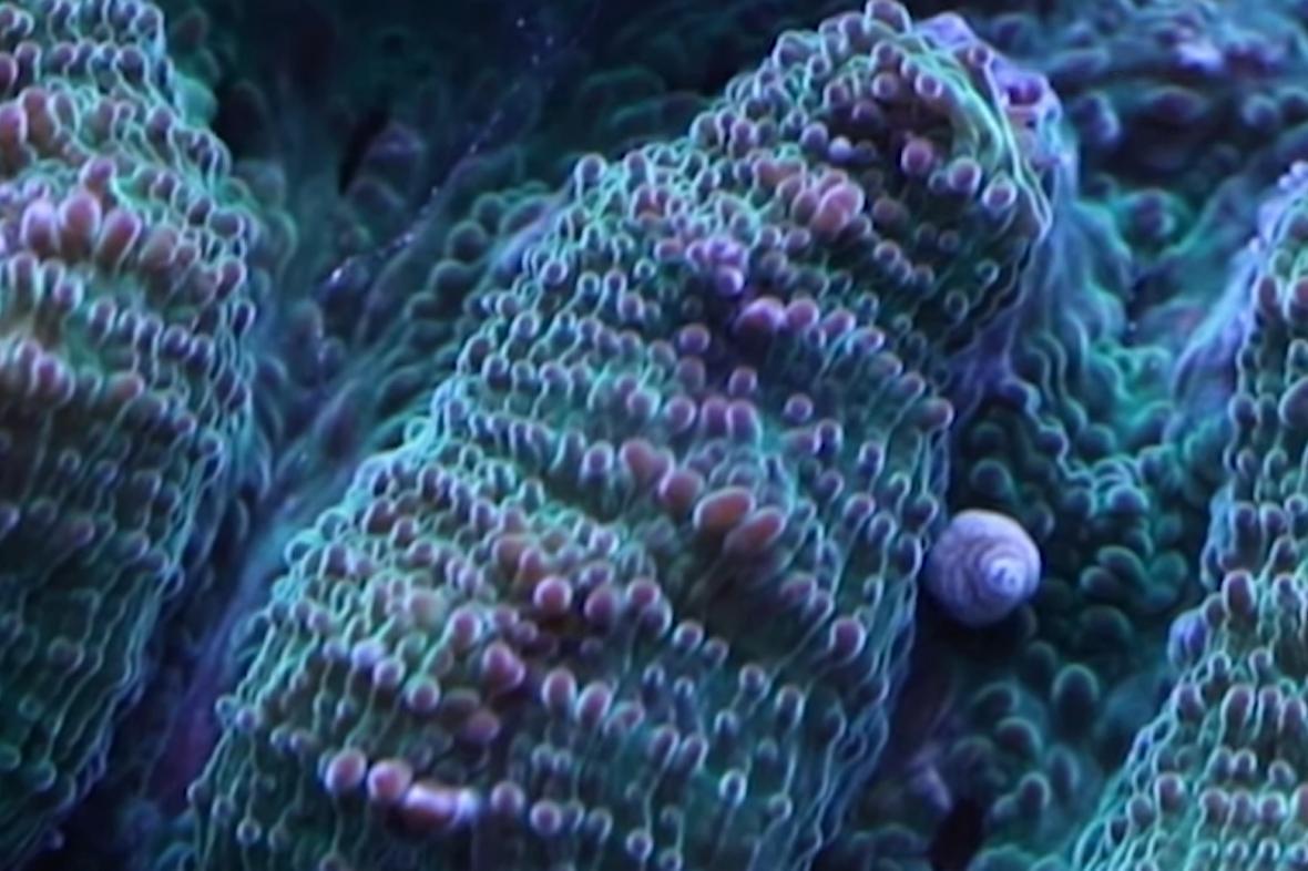 Korál s mladým polypem