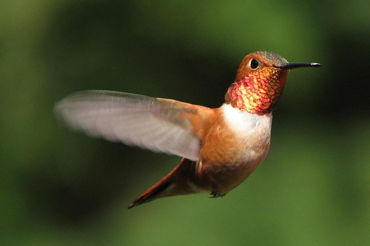 Kolibřík rezavolesklý