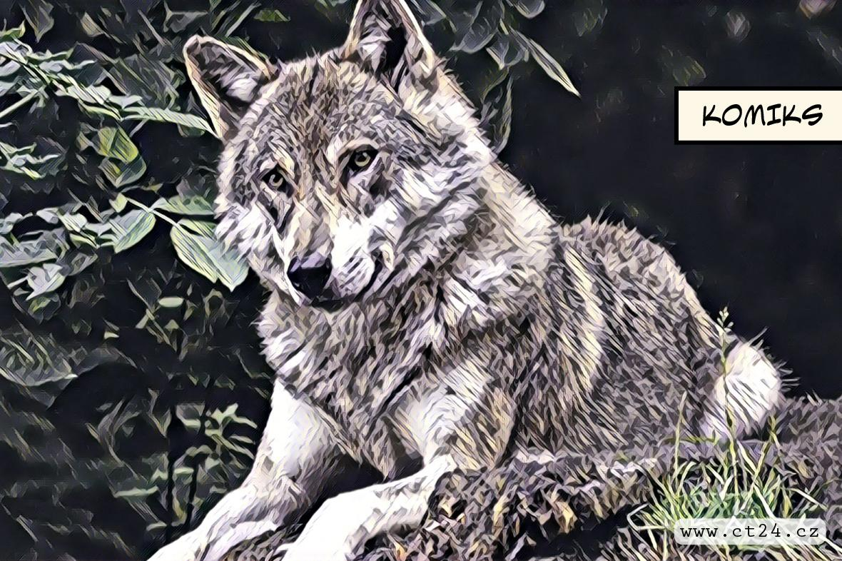Šumavskou rezervaci trápí přemnožení vlci. I přes podanou antikoncepci dál rodí mláďata