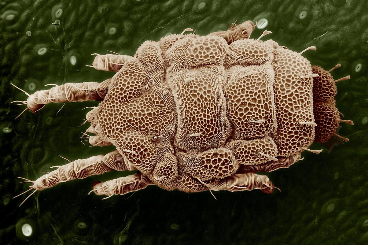 Parazitický roztoč