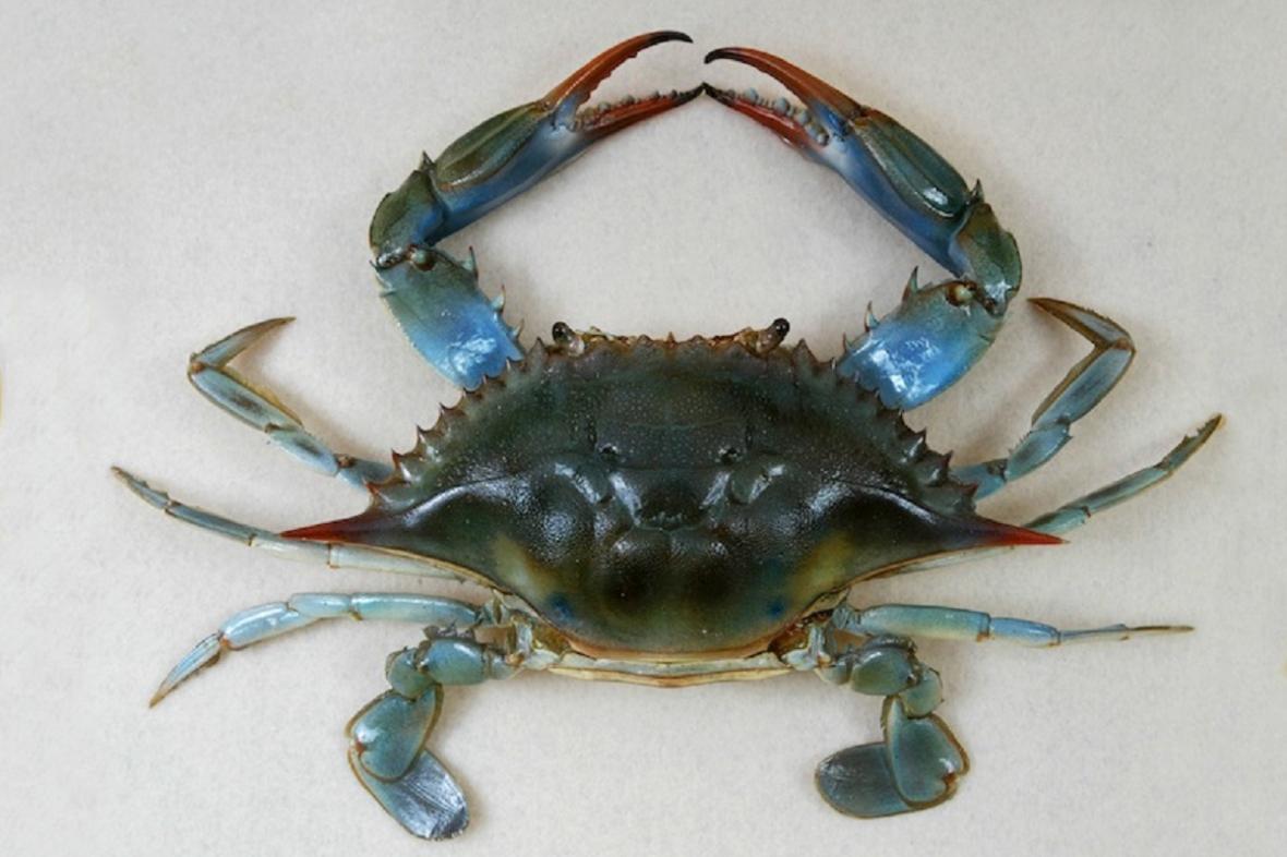Krab modrý