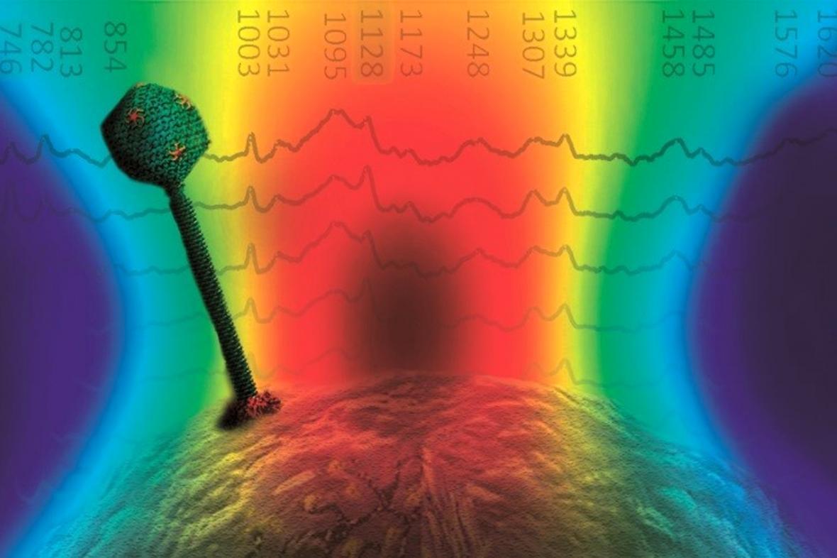 Ilustrace bakteriofága na bakteriální buňce zachyceného v optické pinzetě
