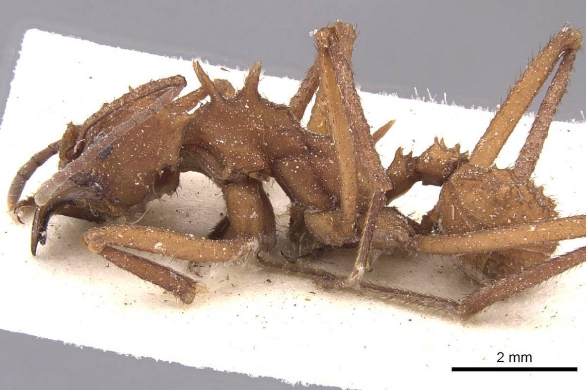 Mravenec Acromyrmex echinatior