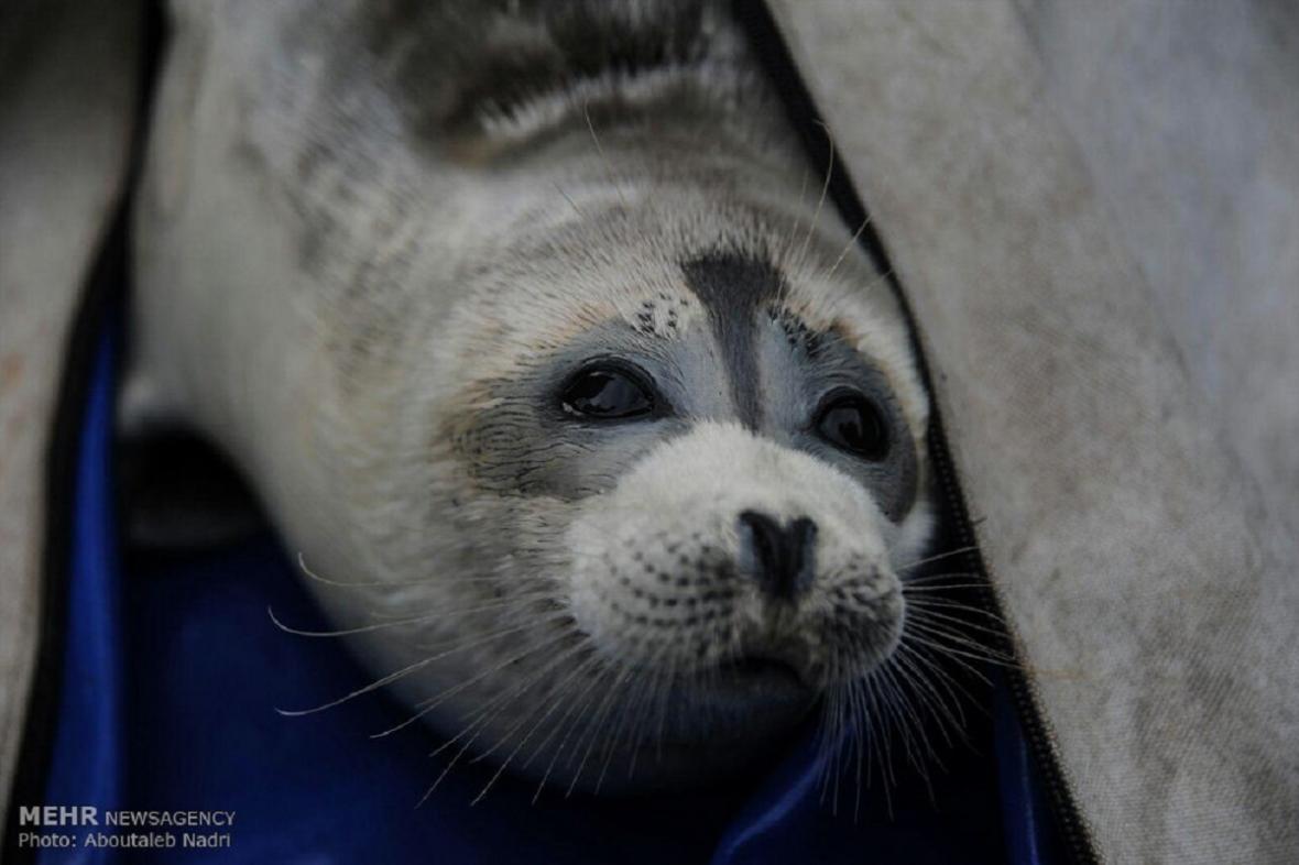 Tuleň kaspický