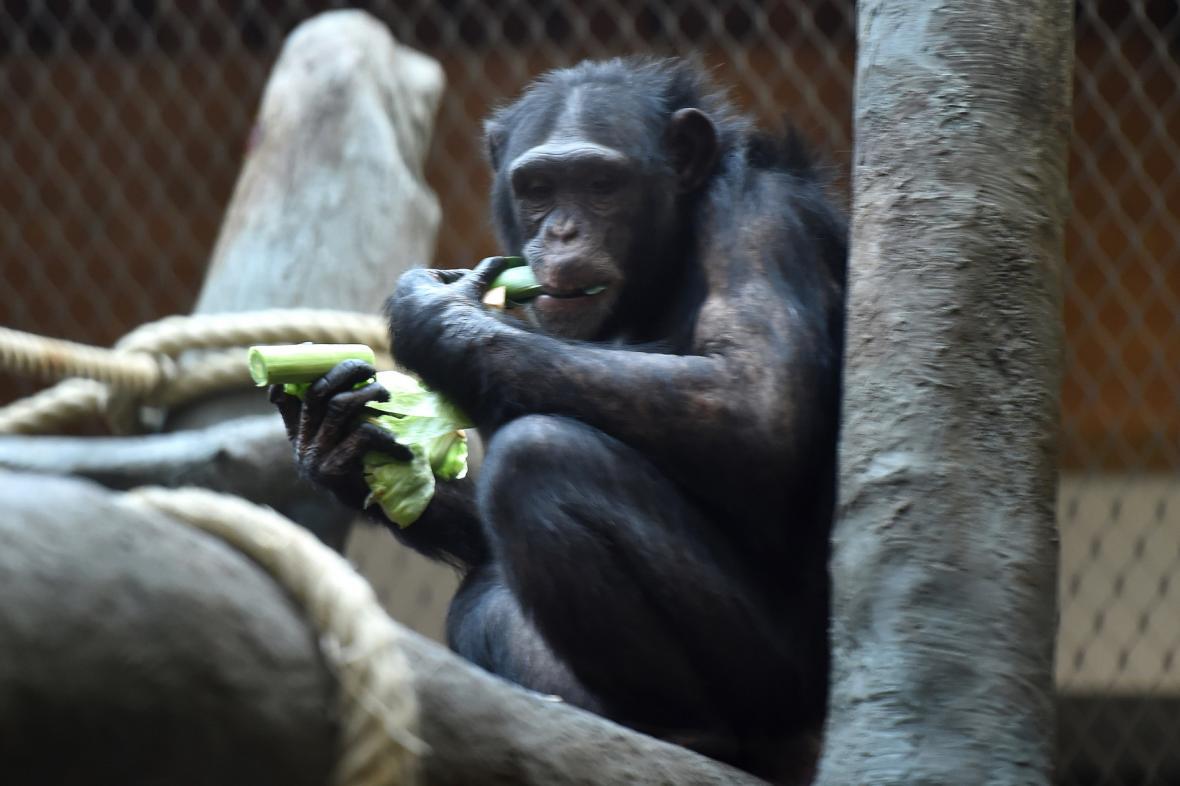 Šimpanz v ostravské zoo