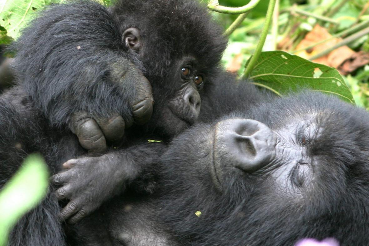 Gorilí samice s mládětem
