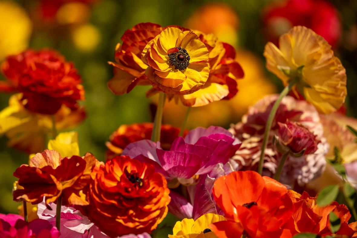 Květinové zahrady u kalifornského města Carlsbad lákají návštěvníky z celého světa