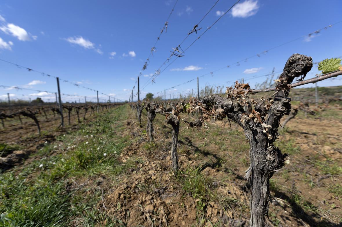 Francouzské vinice poškodilo chladné počasí