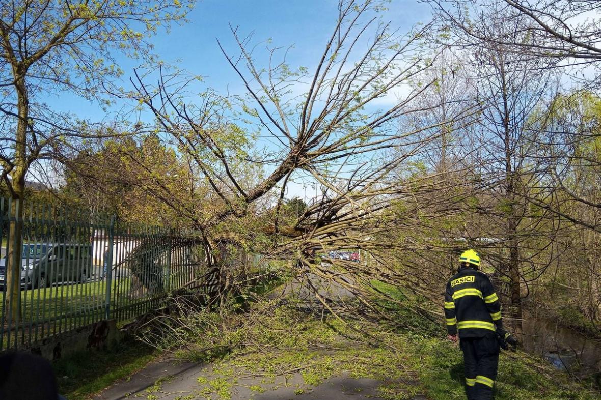 Spadlý strom v Sokolově