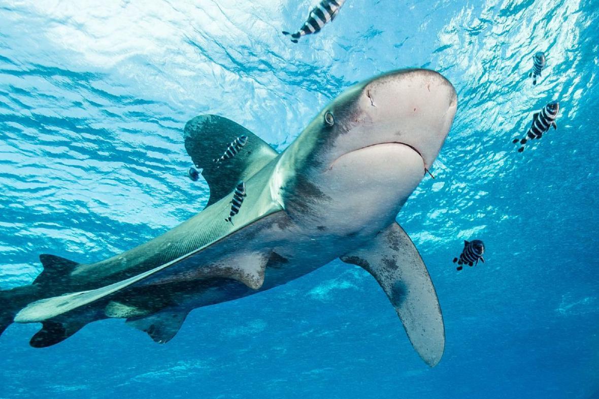 Žralok dvouploutvý