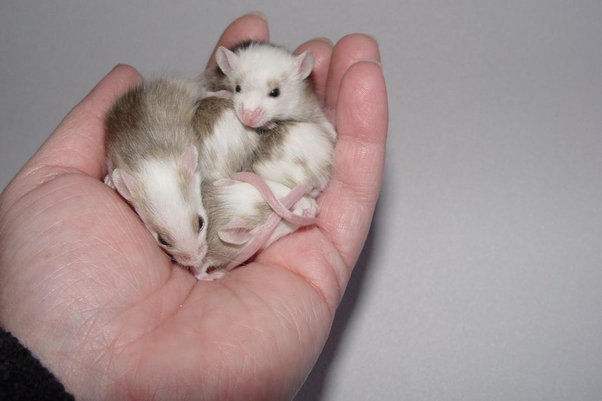Oba viry jsou přenášeny myšmi a krysami