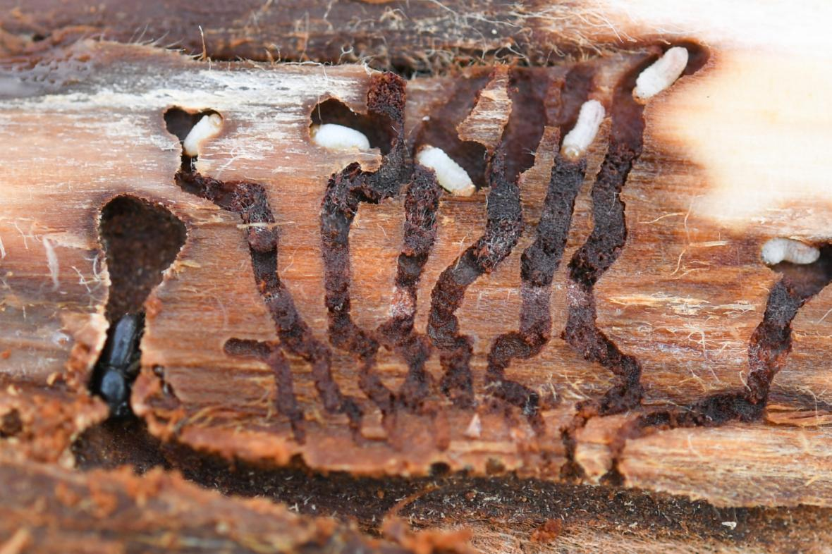 Dřevo napadené kůrovcem