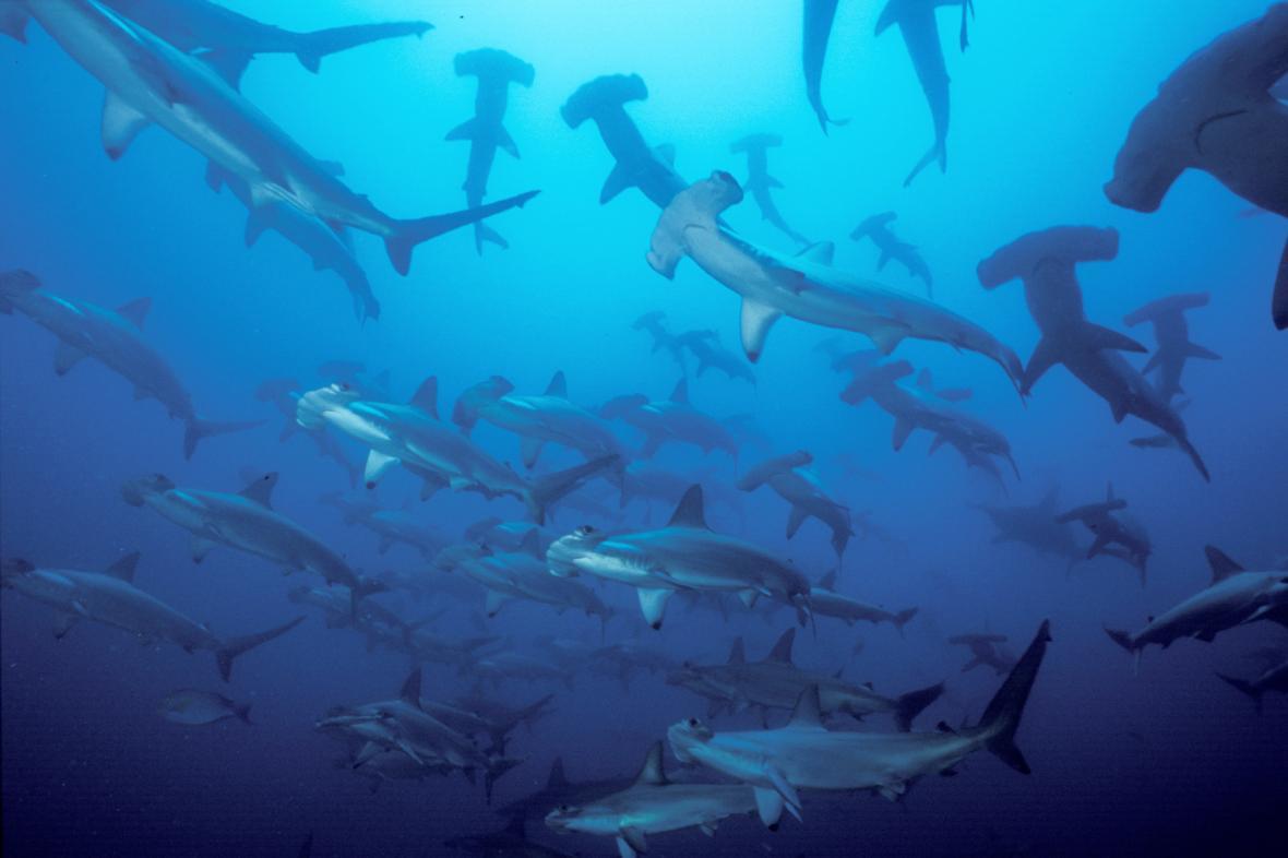 Žraloci kladivouni v kostarických vodách