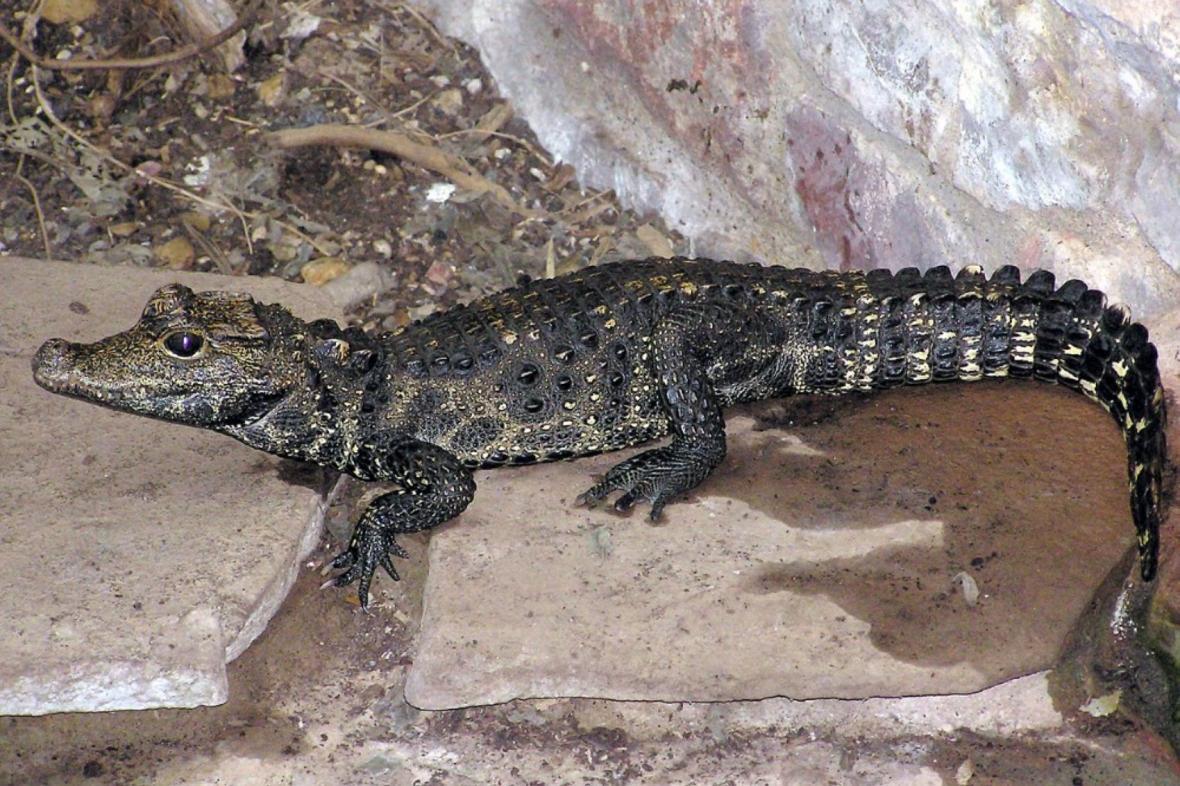 Uprchlý krokodýl čelnatý