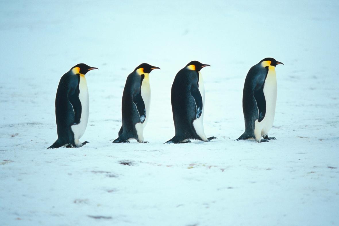 Tučňáci císařští