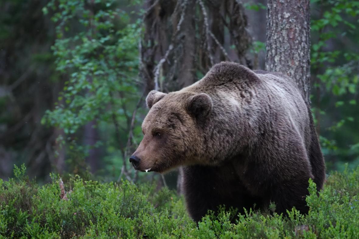 Ve Švédsku žijí asi tři tisíce medvědů