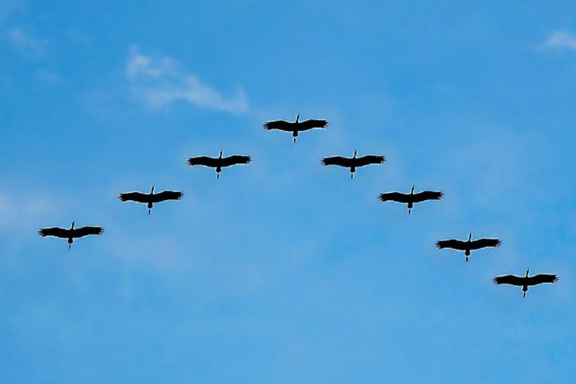 Tažní ptáci