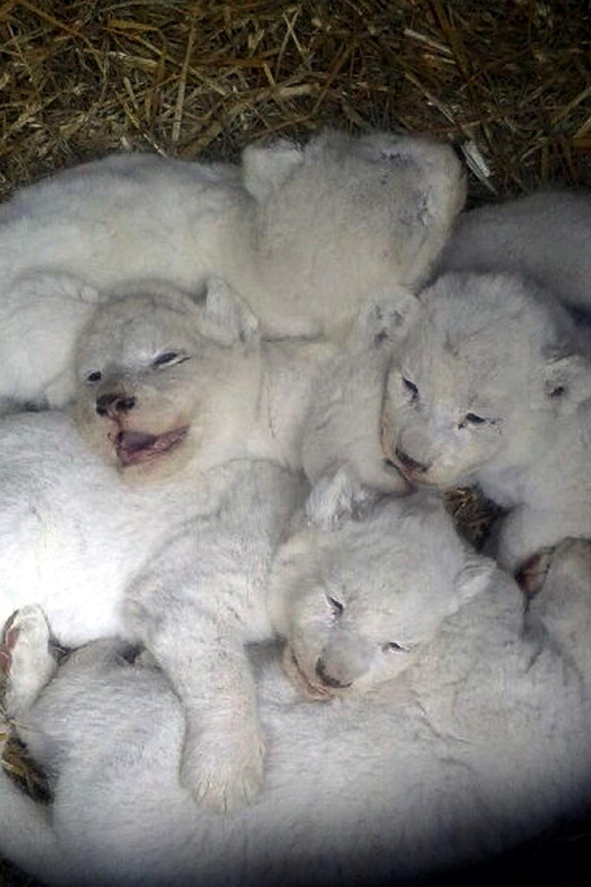Mláďata jihoafrických bílých lvů