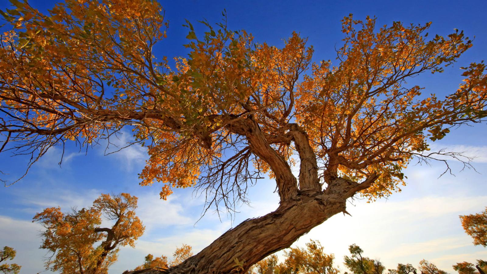 Zlaté stromy v Sin-Ťiangu