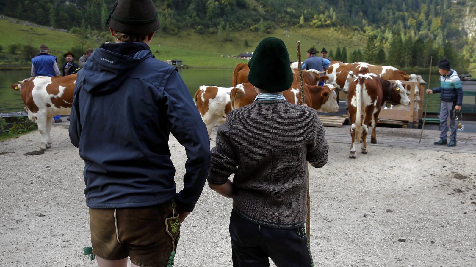 Tradiční svážení kravských stád z alpských pastvin po bavorském jezeře Königssee