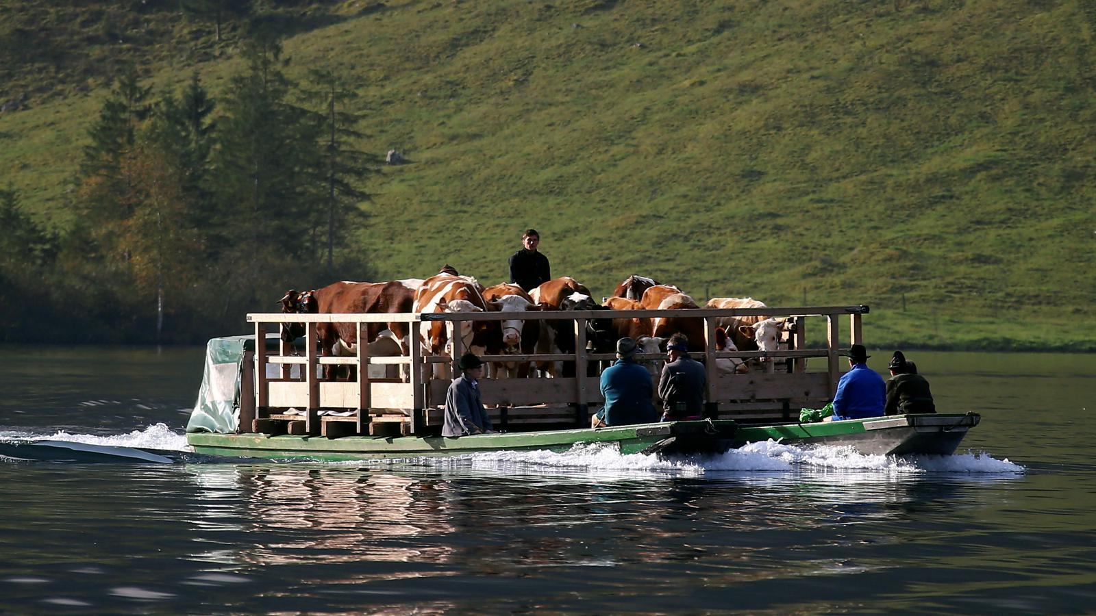 Návrat krav z pastvin