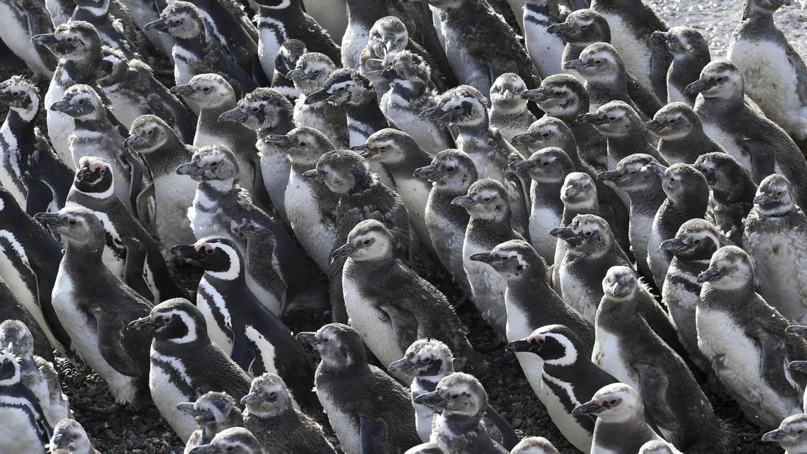 Kolonie tučňáků na Punta Tombo