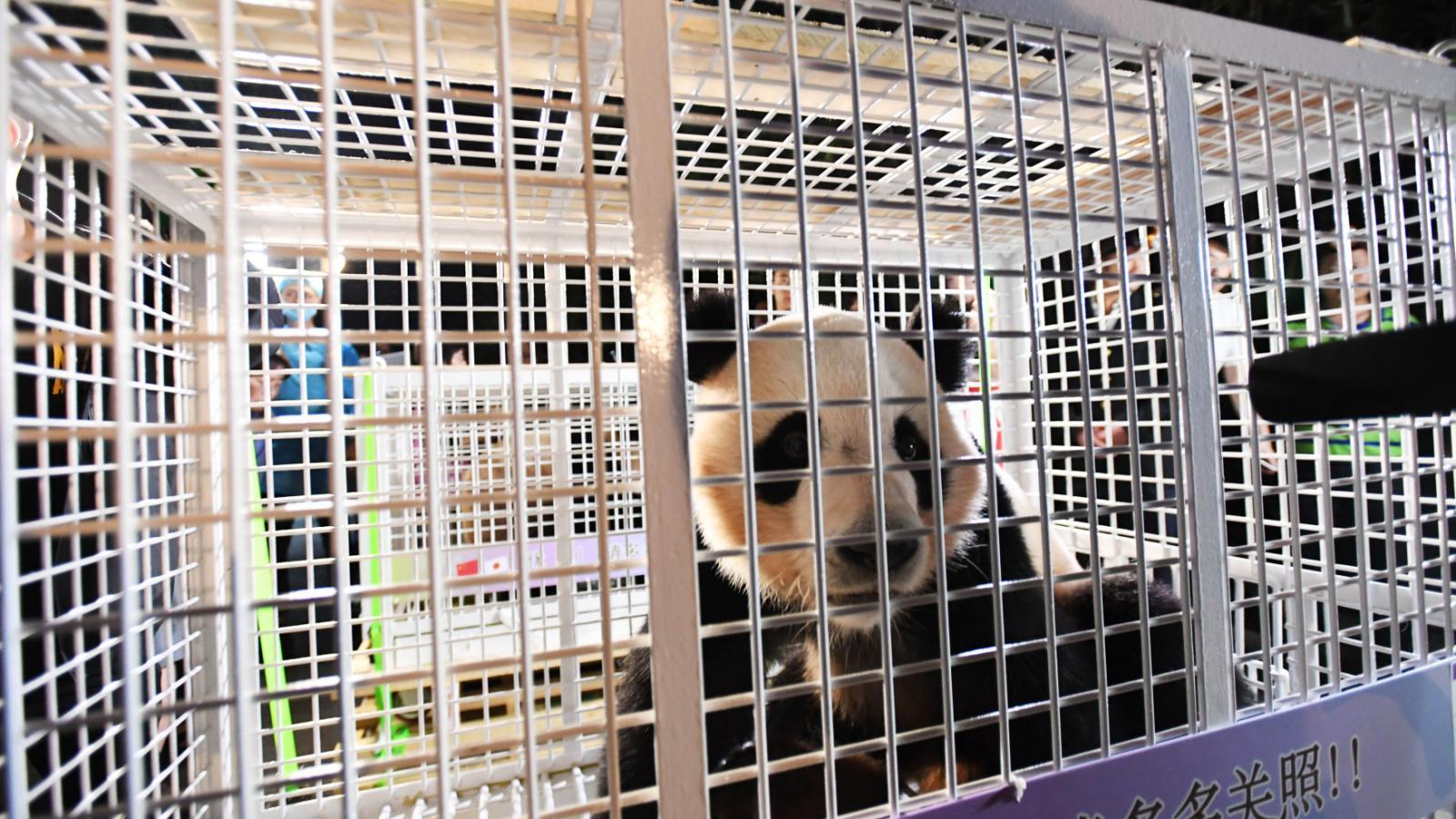 Transport pandy z Japonska do Číny
