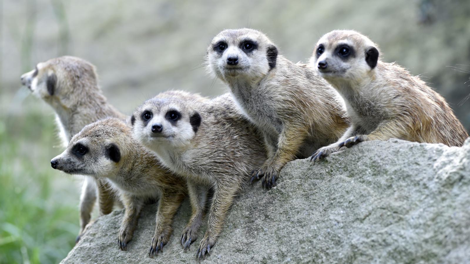 Skupina dospělých surikat